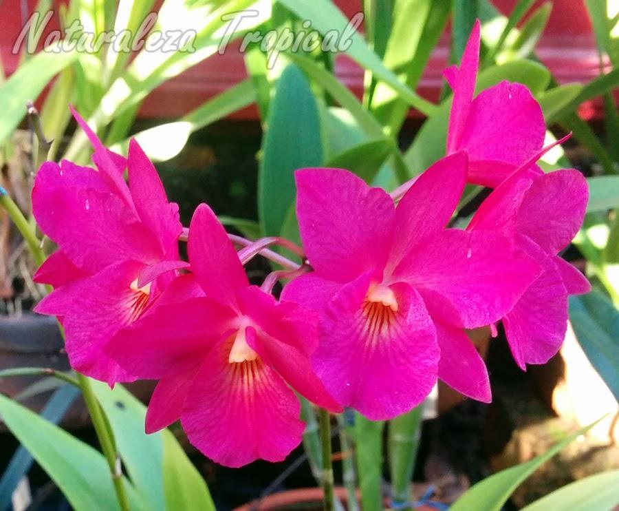 Guaritonia Cosmo-Sanguine es un híbrido obtenido mediante el cruce de una especie del género Guarianthe y otra del género Broughtonia