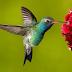 2 Cara Membuat Makanan Sendiri Untuk Burung Kolibri