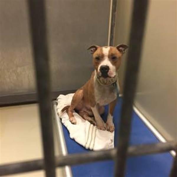 Rescató a un pitbull a punto de morir; ahora la foto del perrito agradecido recorre el mundo