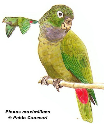 Scaly headed Parrot