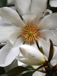 magnolia eye