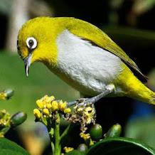 Cara Mengatasi Burung Pleci Yang Mengalami Over Birahi