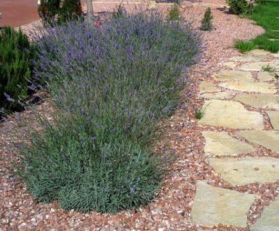Jardín con plantas aromáticas, pequeñas flores, piedras y un camino de piedra laja