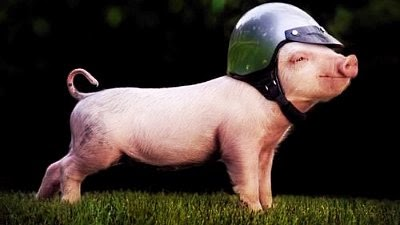 phinny's worldwide fans take on grass sliding as major sport across the globe via geniushowto.blogspot.com cute piglets