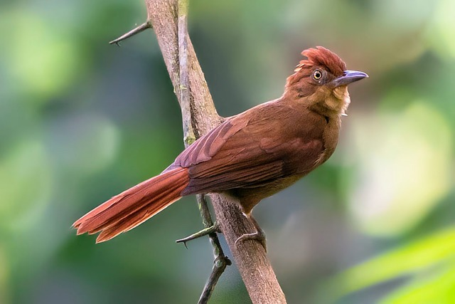 Barranqueiro-de-Coroa-Castanha (Automolus rufipileatus)