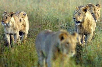 Bukti Singa Raksasa Nyata Dengan Temuan Fosil Ini