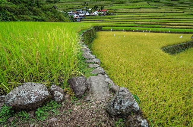 Ifugao Batad Rice Terraces Upclose