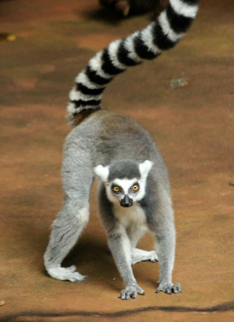 Toronto Zoo in the fall - ring-tailed lemur