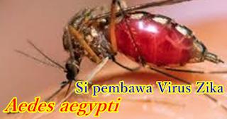 Aedes aegypti si pembawa virus zika
