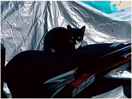 Kucing Nangkring di Atas Motor