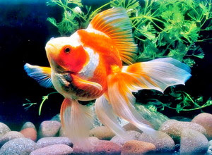 Nih Cara Merawat Ikan Mas Koki Biar Cepat Besar