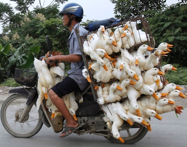 Ducks on a motorcycle in Hanoi, Vietnam