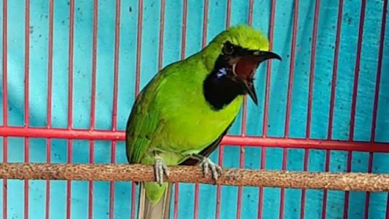 Suara Burung Masteran Terlengkap Download Suara Burung Cucak Ijo Jantan Gacor Full Isian Download