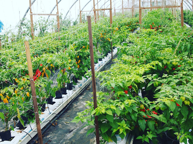The Chilli Ranch, Edible Ornamentals, Bedfordshire.