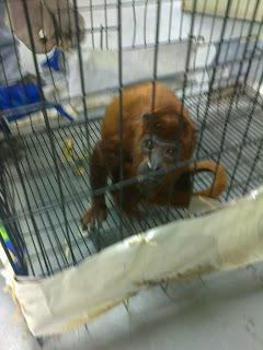 Mono araguato con diarrea dentro de una jaula