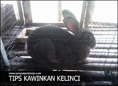 Cara mengawinkan Kelinci secara alami