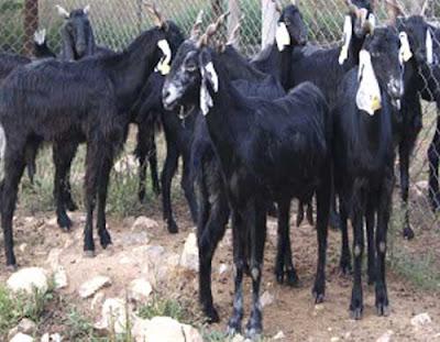 zalawadi goat, zalawadi goats, about zalawadi goat, zalawadi goat appearance, zalawadi goat breeding, caring zalawadi goats, zalawadi goat color, zalawadi goat characteristics, zalawadi goat facts, zalawadi goat farming, zalawadi goat horns, zalawadi goat info, zalawadi goat images, zalawadi goat milk, zalawadi goat meat, zalawadi goat origin, zalawadi goat photos, zalawadi goat pictures, raising zalawadi goats, raising zalawadi goats for milk, raising zalawadi goats for meat, zalawadi goat size, zalawadi goat uses, zalawadi goat milk yield