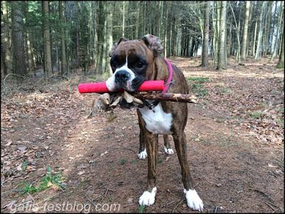Boxer Amy hat gesammelt