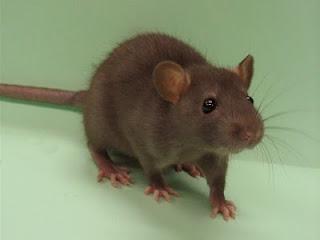 Soñar con Ratas - Ratones ¿Que Significa?