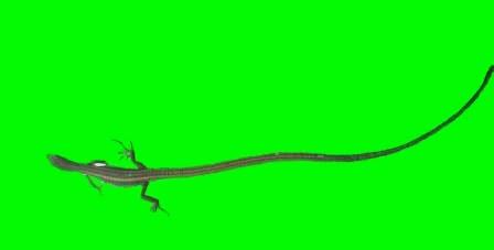 kadal ekor panjang