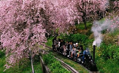 Festival de sakura em Kanagawa
