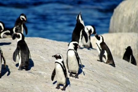 capul bunei sperante pinguini