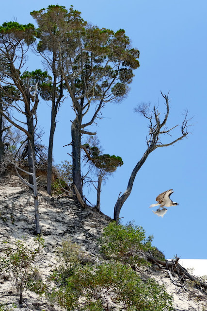 Adler, Seeadler, Moreton Island, Insel, Fisch, Beute