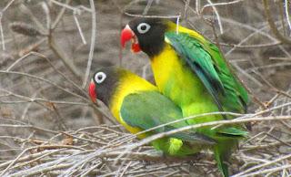 Budidaya Burung Lovebirds