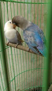 Ciri Lovebird Jantan Birahi atau Siap Kawin