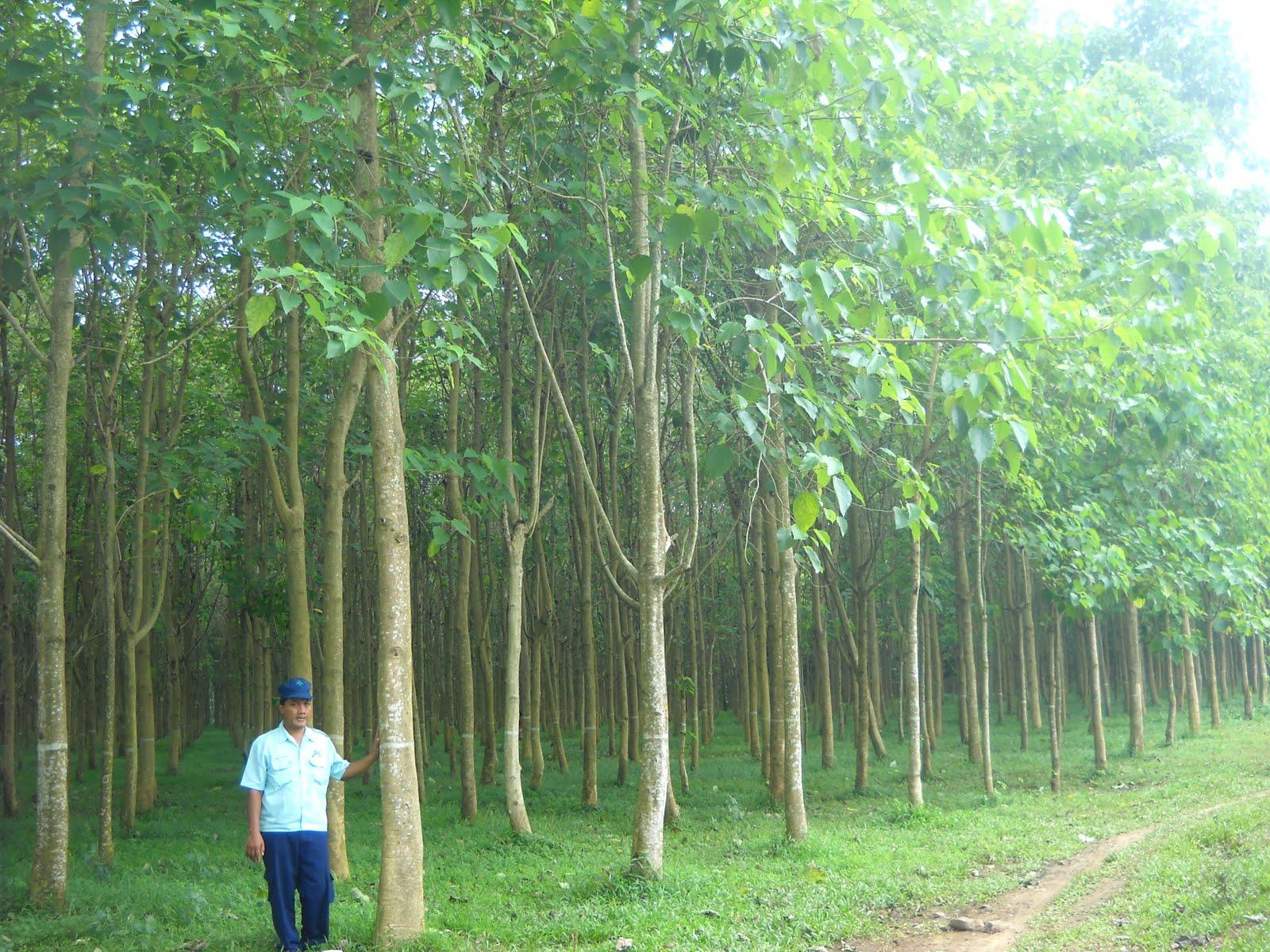 TEKNIK BUDIDAYA JATI PUTIH (Gmelina arborea Roxb)