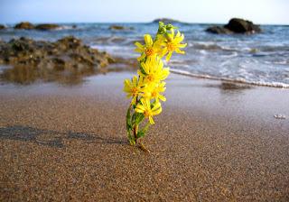 Λουλούδι που έχει φυτρώσει στην παραλία. Ακολουθεί το κείμενο: Λέει: Σ' αγαπώ· δεν τρώω, δεν πίνω... Μιρέγια, ιδέ το χόρτο εκείνο που το ζυγώνουν τα κύματα τώρα. Φυτρώνει στα ρηχά νερά, δυο μόνο ανθάκια έχει μικρά κι είναι, Μιρέγια, μια χαρά. Όμως αν έρθει της αγάπης η ώρα,    το ένα το λούλουδο μονάχο θα πάει κοντά σε κάποιο βράχο τα πέταλα στον ήλιο για ν' απλώσει. Και βλέποντας το έτσι λαμπρό, τ' άλλο λουλούδι ερωτικό κάνει ν' ανέβει απ' το βυθό, ένα φιλί στο ταίρι του να δώσει.    Πάνου στο βράχο για να φτάσει και στην αγάπη, ώσπου να σπάσει το τρυφερό κλωνάρι του τεντώνει, κι όταν ελεύτερο βρεθεί, νεκρό κι ωραίο θε να συρθεί, τ' άλλο για να 'βρει. Ένα φιλί, Μιρέγια, κι ας πεθάνω! Είμαστε μόνοι.