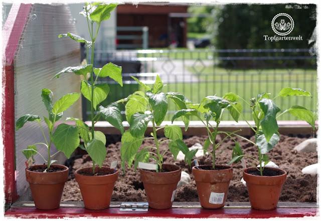 Gartenblog Topfgartenwelt Dehner: selbstgezogene Paprika Pflanzen beziehen das überdachte Hochbeet