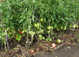 Индетерминантные помидоры, 28 июля