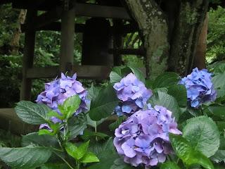 瑞泉寺のアジサイ