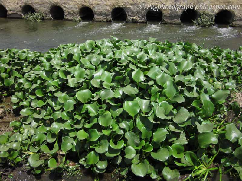 Common Water Hyacinth-Eichhornia crassipes | Nature ...