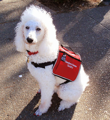 White poodle wearing red vest- Carmapoodale