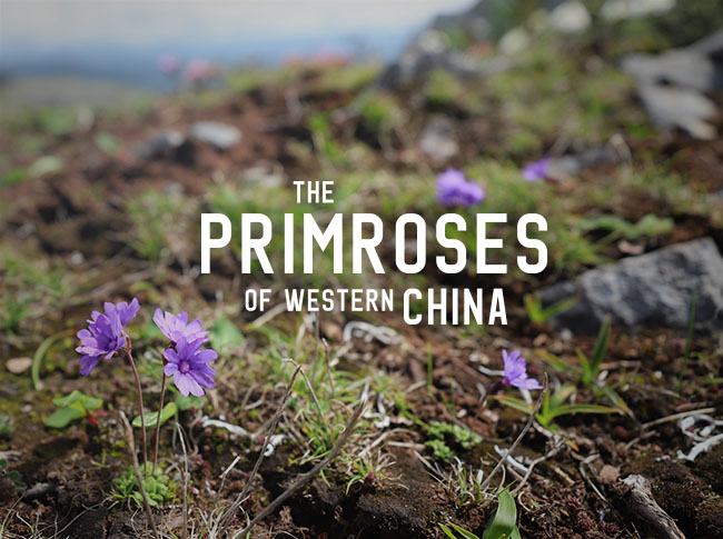 The Incredible Primroses of Yunnan and Western China