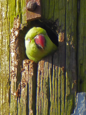 Ring-necked or Rose-ringed Parakeet (Psittacula krameri)
