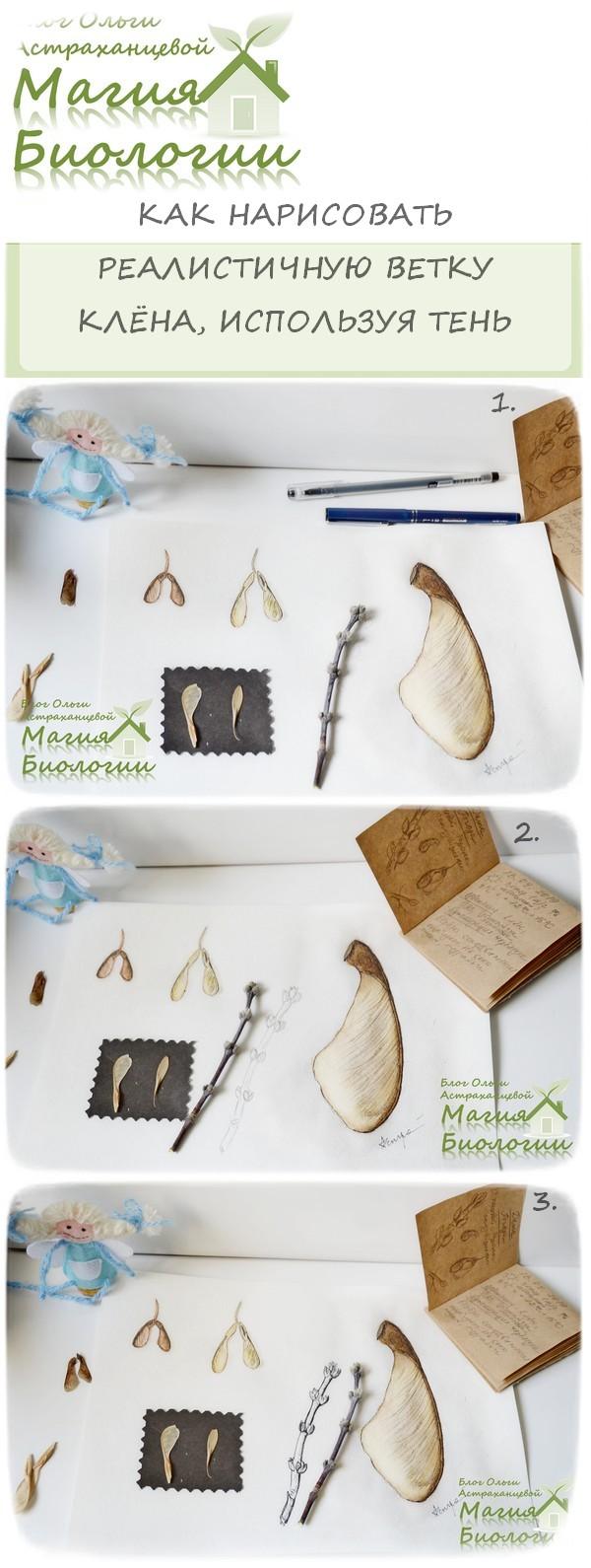 ботаническая-иллюстрация-дневник-наблюдений-крылатки-клена-ветка-клена