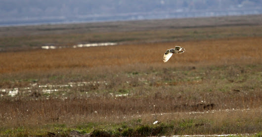 Short Eared Owls at Parkgate