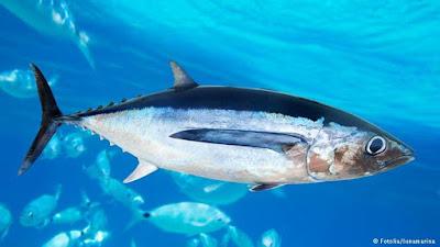 Ikan Tuna Sirip Biru (Bluefin Tuna)
