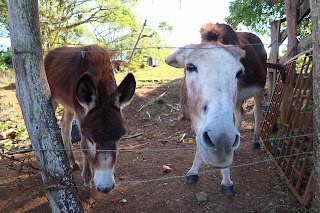 donkeys in puriscal