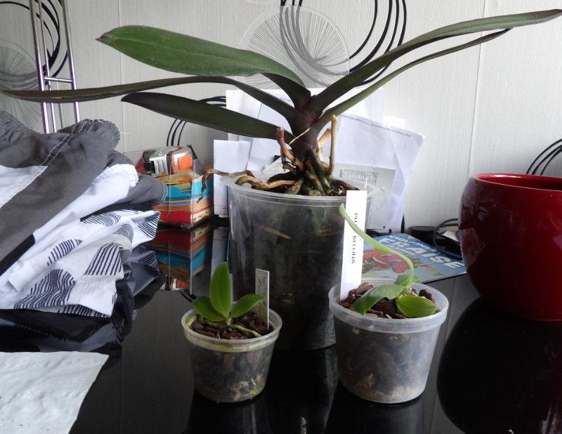 Bébés phalaenopsis Achat_bellina01_02