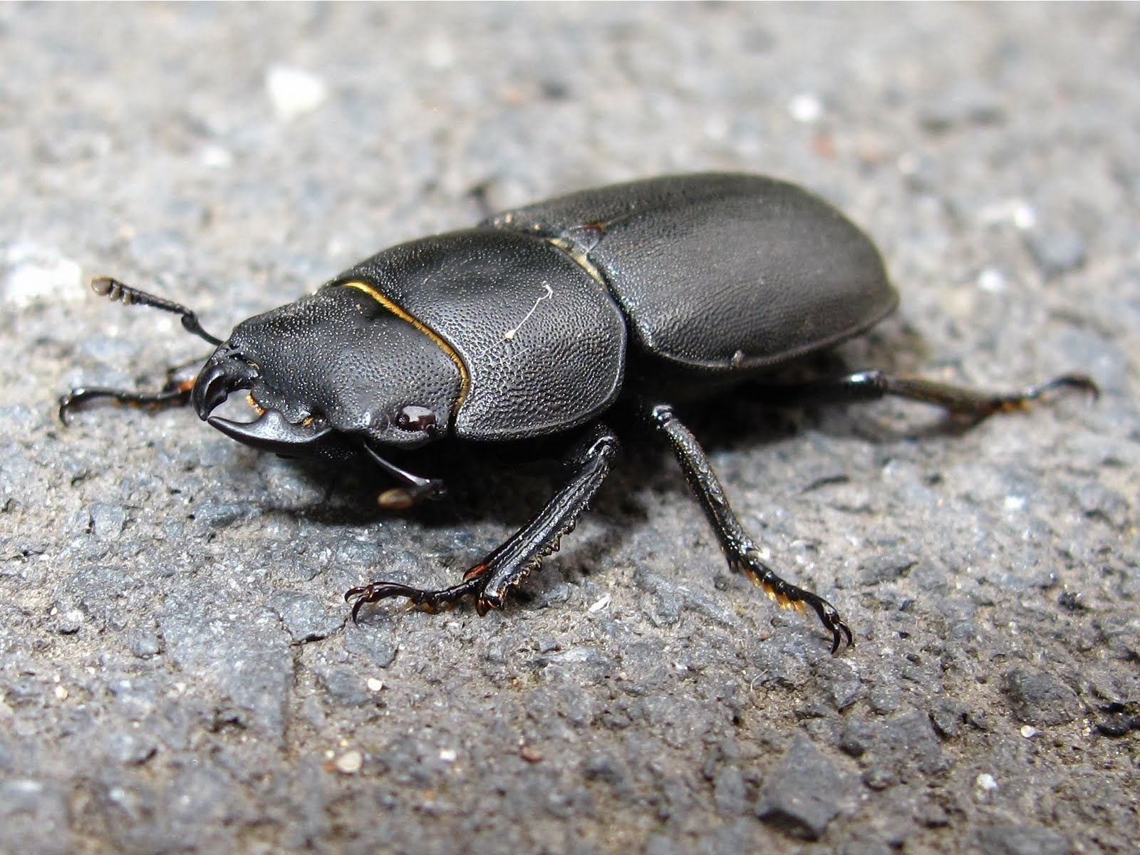 BugBlog: Sexing Lesser Stag Beetles