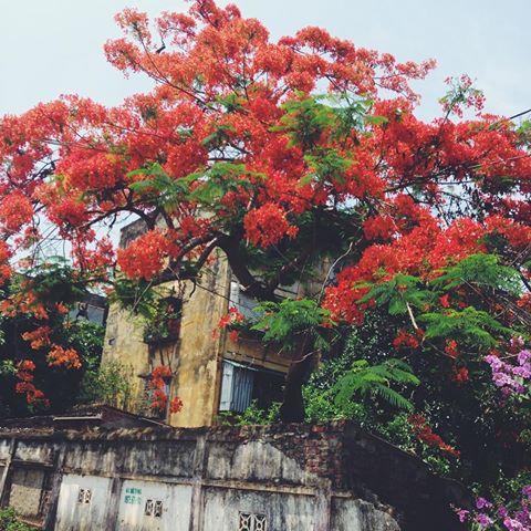 Thơ tình hoa phượng - Thơ hay về hoa phượng vĩ ngày hạ