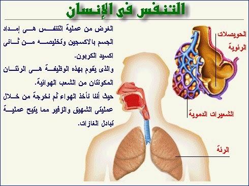 التنفس عند الإنسان