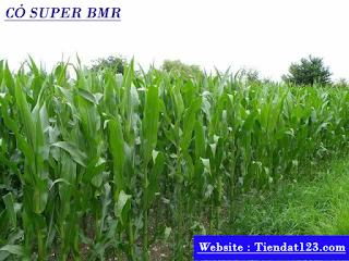 Cỏ Super BMR
