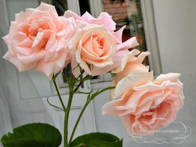 роза Королевский фарфор, розы, розарии, сад и розы