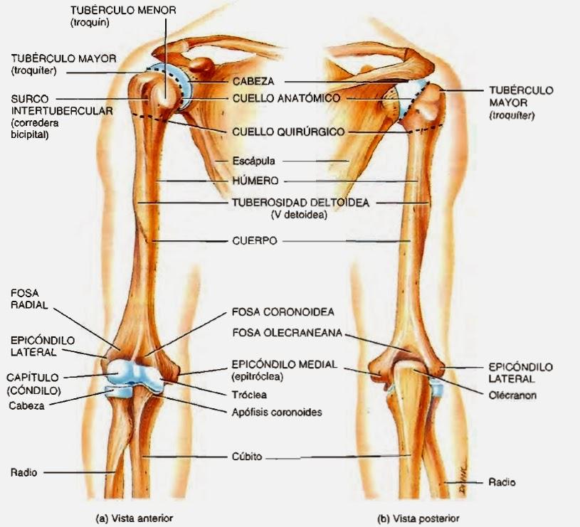 Esqueleto del miembro superior y de su cíngulo