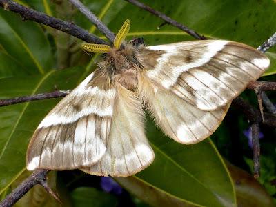 Lemaireodirphia albida male